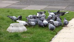 feeding my sparrows? (nannyjean35) Tags: flowers grass birds rock path pigeons doves