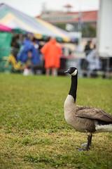 Jazz Fest - Goose