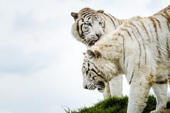 _XT13751 (Kazuky Akayashi) Tags: wildlife fujifilm animaux whitetiger tigres 100400 wildlifephotography xt1 xtrans fujixt1 fujinonxf100400f4556rlmoiswr