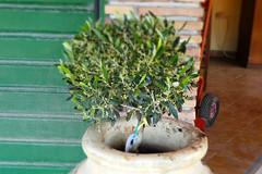 Olive Tree (RobW_) Tags: tree olive saturday pot greece april zakynthos freddiesbar tsilivi 2016 30apr2016