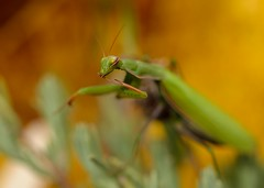 After dinner... (isabellebienfait1) Tags: mantis mante religieuse religiosa 105mm d5100