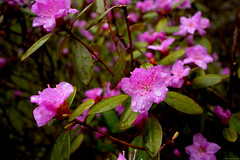 Azalea Flowers (mgestewitz) Tags: flowers plant flower color macro art nature water beautiful rain closeup contrast digital outside outdoors photography photo droplets spring bush nikon colorful bright blossoms newengland newhampshire nh rainy rhododendron raindrops azalea blooms