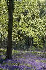 Bluebells at Angmering (zax.dreyfus) Tags: bluebells spring angmering
