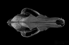 _MG_8850_Still life Dingo skull_Flickr (Andrewhg95) Tags: life lighting light wild bw dog white black texture canon studio found skull still head mark object wildlife teeth iii flash australia 5d outback bone dingo carnivore 2470mm broncolor