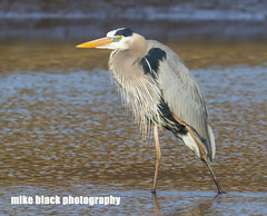 Great Blue Heron New Jersey Shore (Mike Black photography) Tags: new blue sky bird heron nature water canon river lens shark big body year great birding nj shore jersey april 800mm 2016 5ds