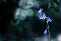 Bells and bokeh (GillK2012) Tags: uk nature bluebells backlight