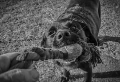 Dina 2 (peter.carlsen) Tags: dog labrador petphotography petercarlsen olympusomdem1 mzuiko1240mmf28pro