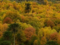 Otoo en Mitrauqun (Mono Andes) Tags: chile autumn bosque andes otoo araucaria lengas chilecentral regindelaaraucana floranativadechile