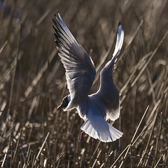 Hettemake - Larus ridibundus  -Black-headed Gull - D8D_9093b (Viggo Johansen) Tags: birds larusridibundus blackheadedgull hettemke birdsinnorway
