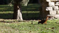 Hiver jardin des plantes Janvier 2016-25 (Frdric THIBAUD Photo) Tags: squirel cureuil