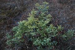 DSC_0012.jpg (wackybadger) Tags: plant tree green wisconsin tamarack conifer larixlaricina nikond60 forestcounty wisconsinstatenaturalarea scottlakeshelplakesna sna117 sigma1020mmf4exdchsm