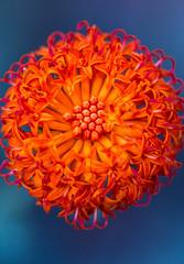untitled.jpg (alan shapiro photography) Tags: kleinia kleiniafulgens orange succulent macro petals