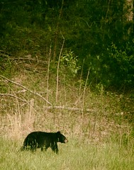 Bear Cub - Great Smoky Mountains National Park, TN, USA (The Shared Experience) Tags: wild usa green nature landscape outdoors spring tn lanscape d800 2014 greatsmokymountainsnationalpark gsmnp niksoftware