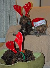 Antlers (Spitdigger) Tags: eli rosso fio lagotto lagottoromagnolo