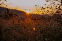 Summerday ends (schtART) Tags: light summer sun plant field sunrise switzerland abend licht nikon sonnenuntergang farm sommer wheat pflanzen feld sonne weizenfeld menziken lichteinfall