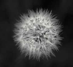 Make a wish... (debbykwong) Tags: blackandwhite flower macro closeup photography blow dandelion makeawish