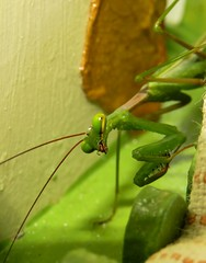 The Poser (Ilana Uys) Tags: green nature pose mantis insect poser long legs praying camouflage stick