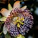 Passiflora actinia