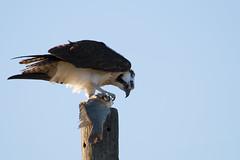 Balanced Meal (Danny McCullough) Tags: nature birds animals canon photography wildlife raptors osprey