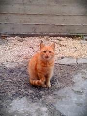 """OOH"", the pussycat said. (farida_kilani) Tags: orange cute nature animal cat gold little picture oh pussycat nazareth"