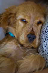 sleeping 1 (r33tom) Tags: dog cockerspaniel canon100mmf2 canon60d