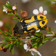 Jewel Beetle 16,Stigmodera Castiarina sp.there are so many variations of these not listed in my W.A. Jewel Beetle book. (ron_n_beths pics) Tags: westernaustralia buprestidae castiarina jewelbeetles