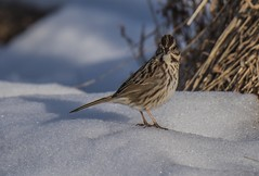 Song Sparrow On Snow (Odonata457) Tags: county mt unitedstates song howard maryland sparrow woodstock pleasant conservancy melospizamelodia