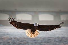 Spread Your Wings And Fly (rustyparkhurst) Tags: birds river iowa eagles leclaire