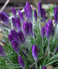 Crocus (jo.dainty) Tags: flowers flower nature rain canon purple crocus drop buds raindrop canoneos100d