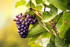 Harvest Season (parkerbernd) Tags: autumn red leaves fruit river germany season lumix vineyard bokeh harvest vine panasonic explore valley mosel rheinlandpfalz moselle trarbach traben enkirch gx1 kvenig