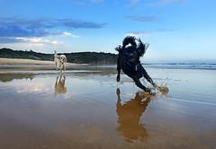 Poodles reflection 1 (caralan393) Tags: reflection beach poodles fun running splash iphone moruya
