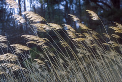 Dancing in the Breeze - Virginia (Don Thoreby) Tags: motion grass virginia breeze winds chesapeakebay beachgrass lyrical goldengrass easternus kipotopeakeshore