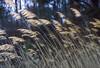 Dancing in the Breeze - Virginia (Don Thoreby) Tags: motion grass virginia breeze winds chesapeakebay beachgrass lyrical goldengrass easternus kipotopeakeshore