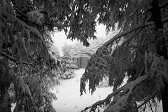 through to white. (jrseikaly) Tags: winter bw lebanon white snow black tree nature forest jack photography branches cedar arz bnw cedars seikaly jrseikaly