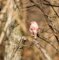 Leucistic Northern Cardinal (Explored 27 Feb 2016 #426) (Mike Matney Photography) Tags: bird nature birds illinois midwest wildlife troy february madisoncounty 2016 northerncardinal glencarbon leuctistic