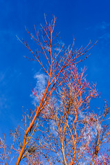japanese maple ll (pbo31) Tags: california blue winter red sky color tree nature up yard outdoors nikon earth january growth japanesemaple eastbay livermore pleasanton alamedacounty 2016 boury pbo31 d810