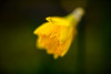 winter antidote (lumofisk) Tags: winter plant flower tree nature yellow 50mm outdoor natur pflanze smooth gelb daffodil manual blume beech osterglocke weich osterblume innamoramento 0mmf0 nikondf
