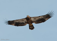 Immature Bald Eagle (bmcvisions) Tags: outdoors nikon eagle pennsylvania wildlife birding bald raptor soaring audubon d300 nikon300mm