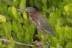 green heron merritt island florida (lee barlow) Tags: nikon florida greenheron butoridesvirescens birdsofflorida leebarlow birdsofnorthamerica