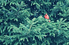 Mr. Cardinal hanging out in the Spruce trees ~ HCS! (karma (Karen)) Tags: trees home birds backyard maryland baltimore spruce cliche cardinals hcs