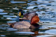Redhead and Mallard Ducks (lybrand) Tags: water birds us unitedstates lasvegas wildlife nevada ducks sunsetpark redheadduck