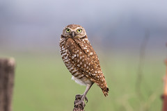 Burrowing Owl 7D045489 ( 020616 ) (Melissa Kung) Tags: