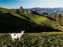 Ziege in Blappach (bolliger51) Tags: schweiz weide ziege bern che landschaft weiss haustier emmental trubschachen kantonbern blappach kleinvieh schweizsuissesvizzeraswitzerland