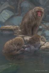 Snow Monkeys - what can I find? (NettyA) Tags: travel winter wild pool animals japan asia wildlife nosnow naganoprefecture 2015 yudanaka snowmonkeys yamanouchi macacafuscata japanesemacaques jigokudanimonkeypark yokoyuriver