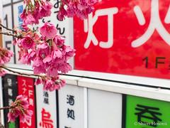 Cerasus cerasoides var. campanulata (Shiori Hosomi) Tags: flowers plants japan tokyo march  sakura cherryblossoms   prunus rosales cerasus  2016 rosaceae taiwancherry           23