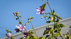 Pink Hibiscus (Theen ... busy) Tags: pink blue roof sky green garden lumix grey bush iron dof suburban suburbia clear hibiscus adelaide local corrugated theen