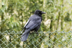 Corvus Corone (Charliebubbles) Tags: bird canon eos wildlife carrioncrow corvuscorone 60d 080316 canoneos60d