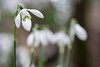 Snowdrops (4/4) (.mushi_king) Tags: flowers closeup bulb spring fuji nt snowdrops nationaltrust snowdrop angleseyabbey 500d diopter 56mm dioptre