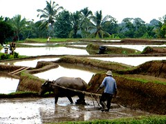 rijstveld bij Jatiluwi Bali (Gerda Le Blanc) Tags: bali nature landscape buffalo farmer ricefields jatiluwi