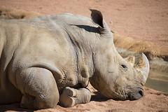 Rinocerontessa (Mauro_Amoroso) Tags: wild nature animal animals zoo nikon adventures nationalgeographic natgeo nital lecornelle parcofaunistico nikonitalia parcofaunisticolecornelle